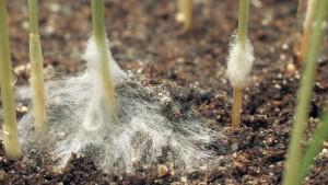 плесень в питомнике растений